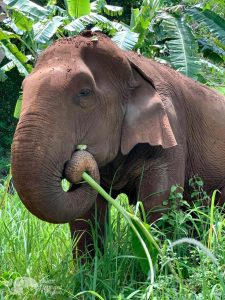 elephant foraging at elephant sanctuary chiang mai