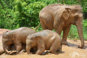 Elephant Freedom elephant mudbath