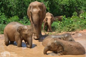 Elephant Freedom elephant mudbath