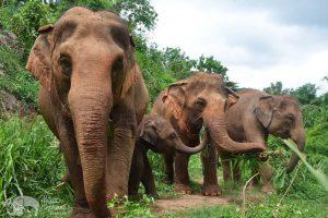 Herd at Elephant Freedom ethical elephant tour