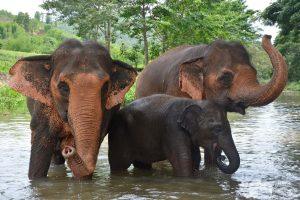 Elephant Freedom Asian Elephant Projects