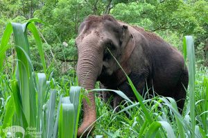 Elephant in forest chiang mai
