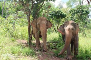Elephant Green Hill ethical elephant tour