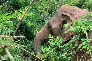 Elephant Green Hill elephant foraging