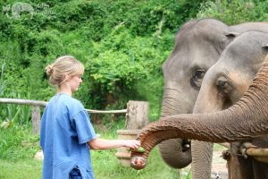 Elephant Wellness feeding elephants
