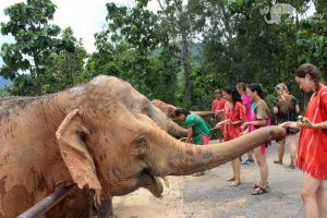 feeding elephants chiang mai