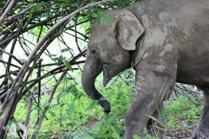 young elephant at elephant tour chiangmai