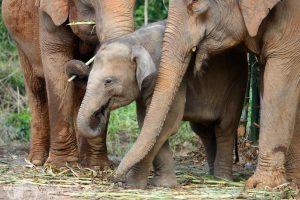 elephant family thailand