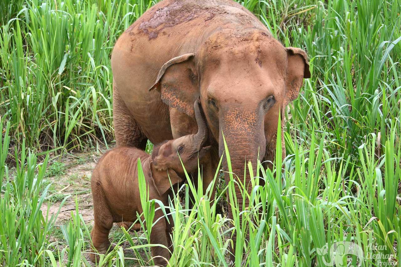 Karen Elephant Serenity | Elephant Sanctuary | Asian