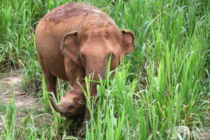 Karen Elephant Serenity Elephant Sanctuary Chiang Mai
