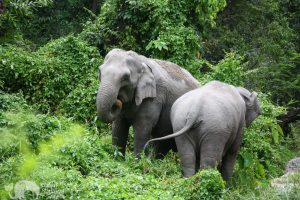 Karen Elephant Oasis Asian Elephant Projects