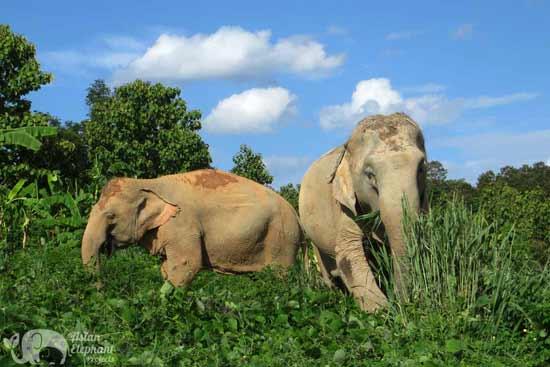 elephants foraging