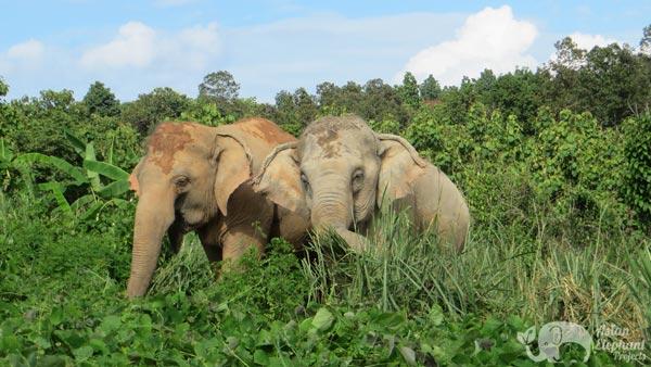 elephants foraging thailand