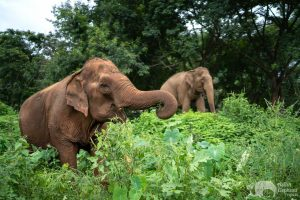 Care For Elephants Foraging
