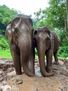 Elephant Pride elephant mudbath