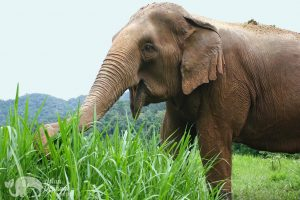 elephant eating grass at elephant highlands animal sanctuary