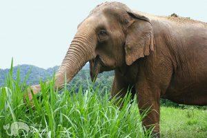 elephant eating grass at elephant highlands animal sanctuary