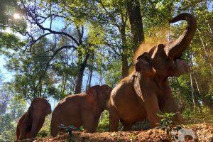 herd of elephants chiang mai