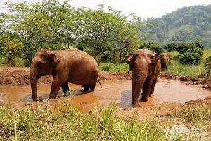elephants taking a mud bath chiang mai