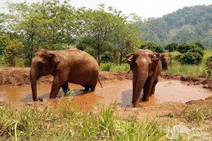 elephants taking a mud bath chiang mai