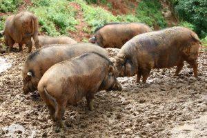pigs at animal sanctuary