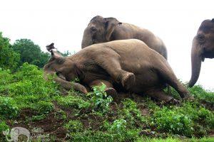 elephant rolls down hill at elephant highlands
