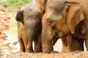 elephants take a mud bath at karen elephant retreat chiang mai