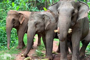 elephants eating at Majestic Elephant Project