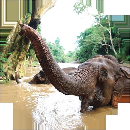 elephants bathing in the river chiang mai