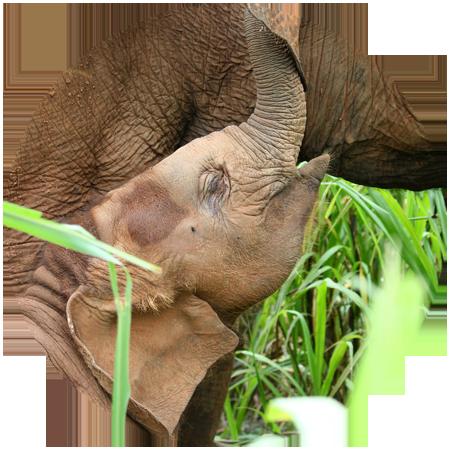 baby elephant with nanny thailand