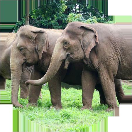 herd of elephants chiang mai thailand