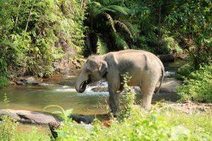 Karen Elephant Habitat ethical elephant project