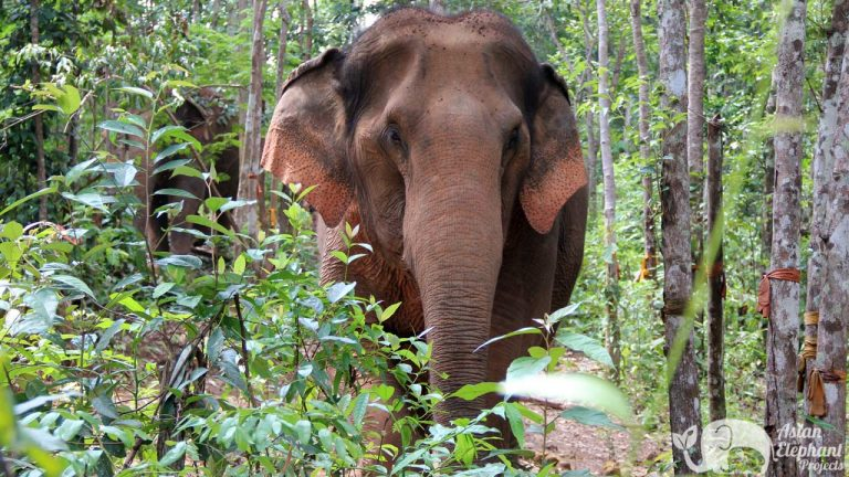 Asian_Elephant_Projects