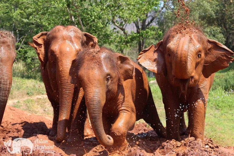 Asian_Elephant_Projects_Home_5