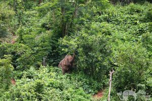 Elephant Wellness elephant foraging in the jungle