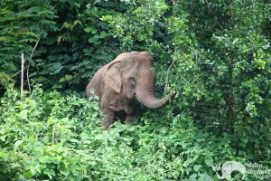 Elephant Wellness elephant foraging