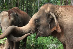 Elephant Chiang Mai Karen Elephant Experience