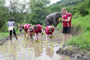 Karen Elephant Home planting rice