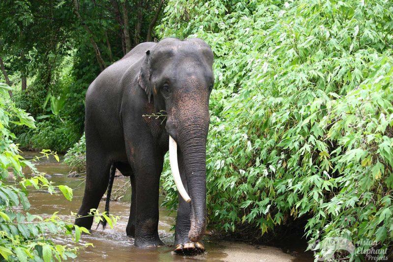 Bull Elephant Kham Meun Karen Elephant Home