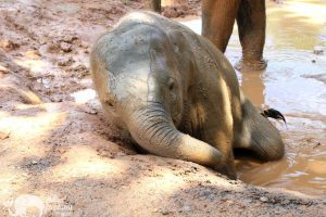 Karen Elephant Retreat elephant mudbath