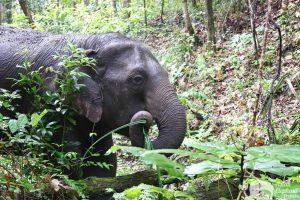 Journey to Freedom elephant foraging