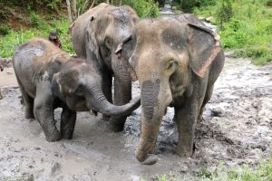 Elephant mudbath at ethical elephant tour