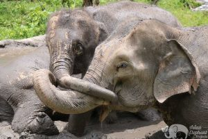 Elephant friends at ethical elephant tour
