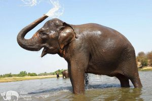 Surin Project Volunteer with Elephants