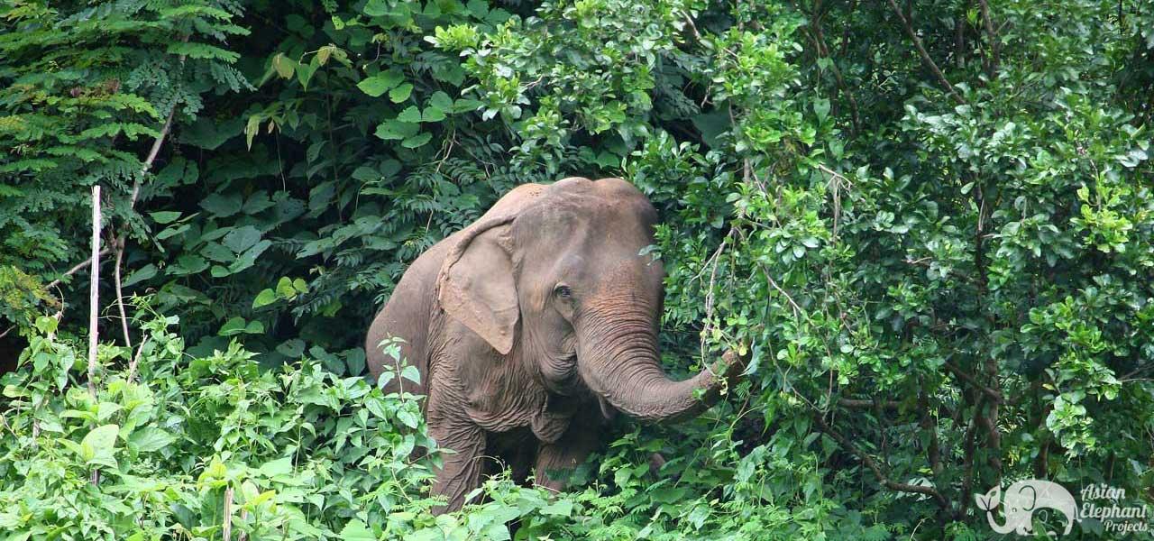 Asian Elephant Projects Elephant Sanctuary