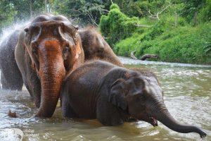Elephant Freedom elephants bathing