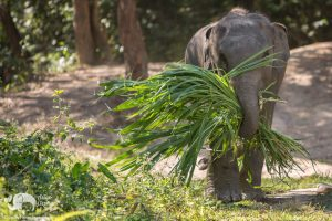Asian Elephant Projects - Grass for Elephants