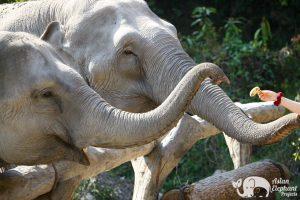 Karen Elephant Oasis ethical elephant project
