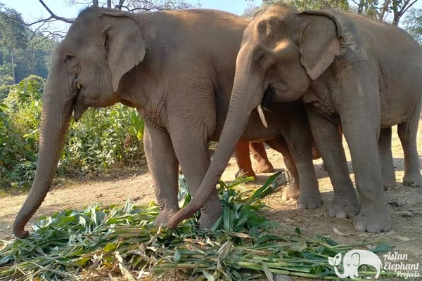 Banana_Fund_Asian_Elephant_Projects