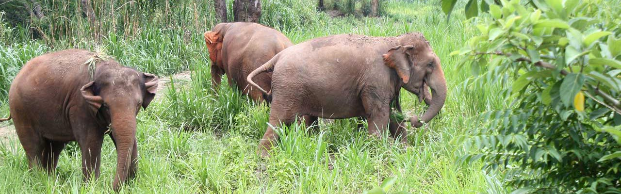 Elephants_Foraging_Asian_Elephant_Projects